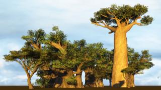 Загинаха едни от най-старите дървета в света