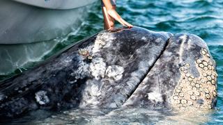 Кит се хвана в мрежа край остров Сахалин