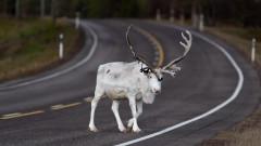 Как Швеция ще се погрижи за северните елени