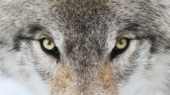 Кучето, което се оказа вълк