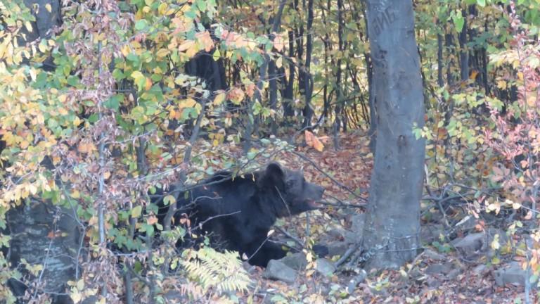 Маркираха 210-килограмова мечка в Стара планина