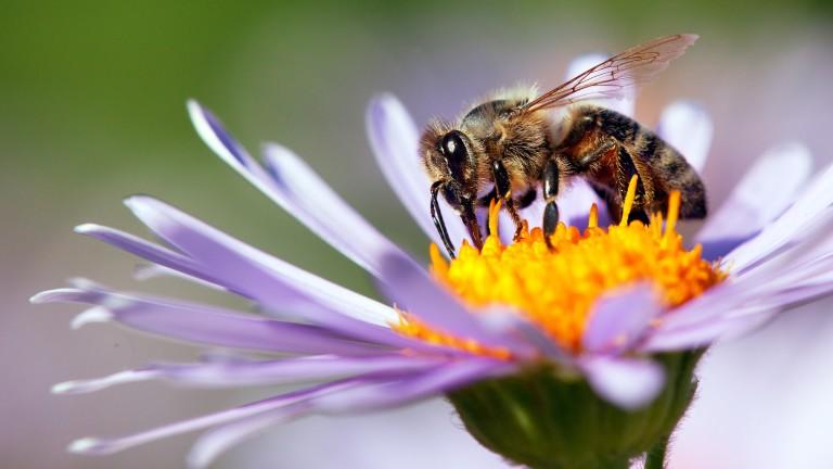 Учени откриха най-голямата пчела в света, която се смяташе, че