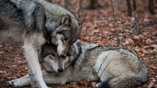 Вълците - основна тема на коалиционните преговори в Германия