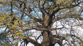 """300-годишен дъб от Трънско стана """"Дървото с корен"""""""