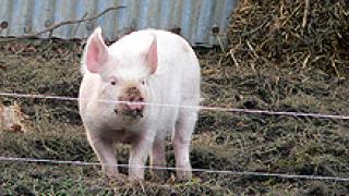 Произвеждаме с близо 1% повече свинско месо тази година