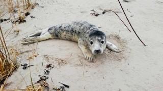 Нашествие на тюленчета по плажовете в Латвия, хората ги стресират