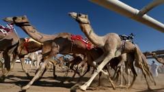 Дисквалифицираха камили от състезание по красота заради ботокс