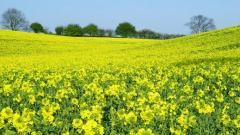 Очакват рекордна реколта от рапица в света