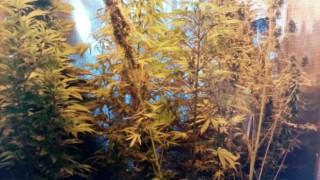 Арестуваха русенец заради домашна оранжерия за марихуана