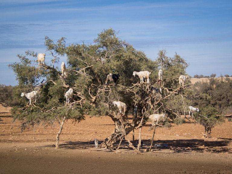 Тези смели кози не се притесняват от бодлите на аргановото дърво.