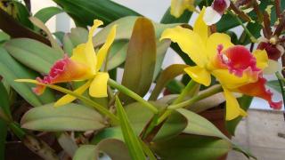 Ботаниците от БАН показаха 60 вида орхидеи