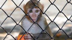 Иран с нов опит да изпрати жива маймуна в космоса