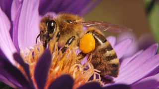 Пчелите - отново в сериозна опасност