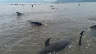 Масово самоубийство на китове в Нова Зеландия