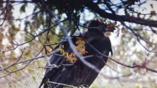 Бракониери убиха рядък вид лешояд в Кърджалийско