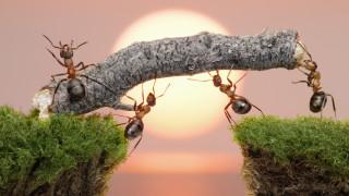 Мравки помагат на ранените си събратя
