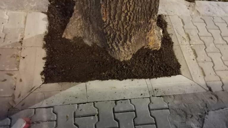 За дървета, засипани с цимент на централната столична улица