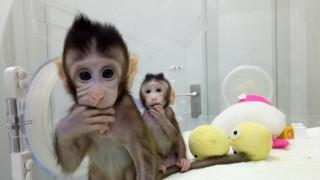 Клонираха две маймуни в Китай