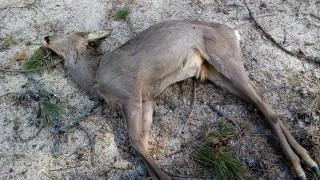 Заловиха бракониери с убити сръндаци в багажника на автомобил им