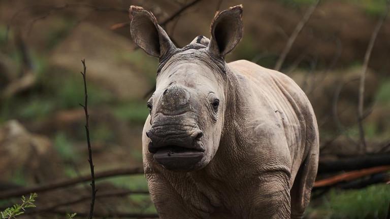 В ранните часове на миналата неделя, женският бял носорог Кенди