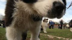 Безплатно кастрират кучета в Нови Искър