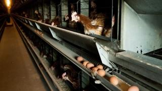 Холандия избива още 48 000 пилета заради огнище на птичи грип