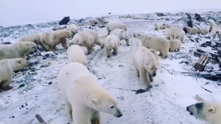 Бели мечки причиниха бедствено положение в Русия