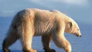 Белите мечки са се появили преди 600 000 години