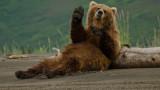 Гладни мечки безчинстват в румънски градове