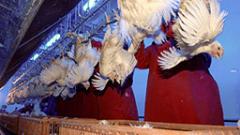 Спекула е, че пилешкото месо се тъпче с хормони, обяви БАБХ