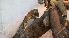 Все още не е намерен собственикът на спасената игуана в Стара Загора