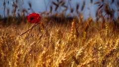 По-слаба реколта от пшеница и царевица в ЕС през 2020-а