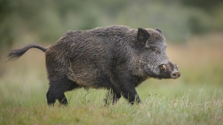 Два нови случая на чума по свинете в Монтанско