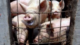 Япония спря вноса на свинско месо от Германия