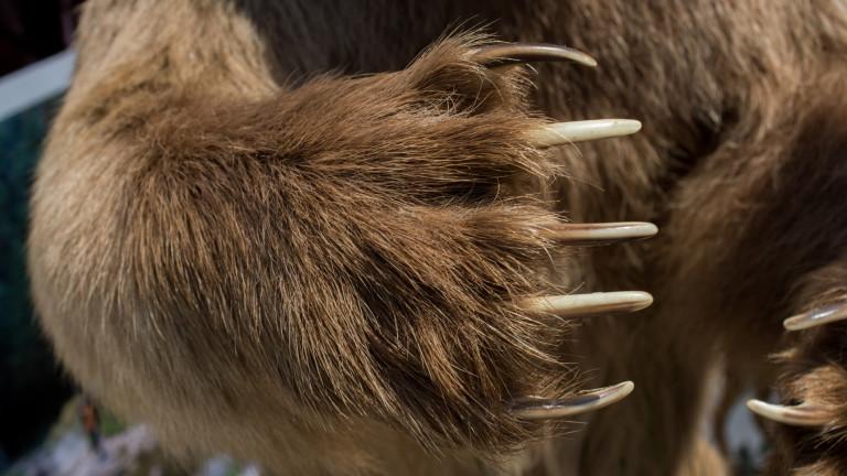 Какво се случва при срещата на мечка гризли и вълк