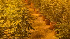 Откриха голяма наркооранжерия в бивш цех в град Бойчиновци