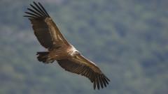 Надникнете в гнездото на белоглави лешояди в Родопите