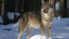 Вълк избяга от зоопарка в Хасково