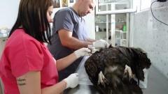 Откриха отровен черен лешояд край Крумовград