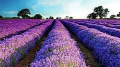 България надмина Франция в производството на лавандула