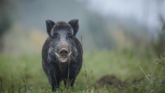 Чумата по свинете застигна и област Перник
