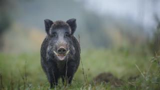 Ловци от Кърджали бойкотират лова на глигани срещу чумата