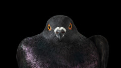 Гълъбите на Ню Йорк