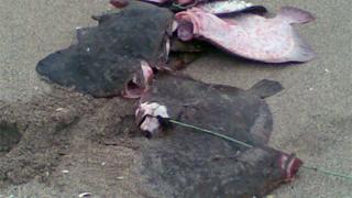 Даряват 50 кг. незаконно уловен калкан