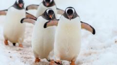 Ваксинират пингвините в норвежкия град Берген