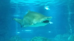Женска акула изяжда мъжка