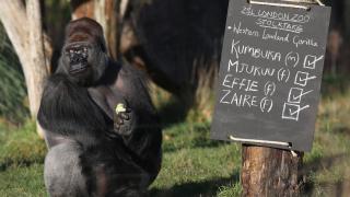 184-килограмова горила избяга от лондонския зоопарк и изпи 5 литра сок от касис