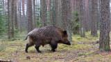 Нов случай на чума по свинете в Пловдивско