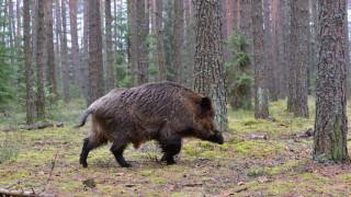 Две диви прасета край Доспат с положителна проба за чума