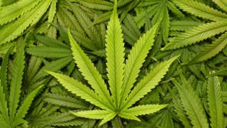 Наркооранжерия в гардероб откри полицията в Русе